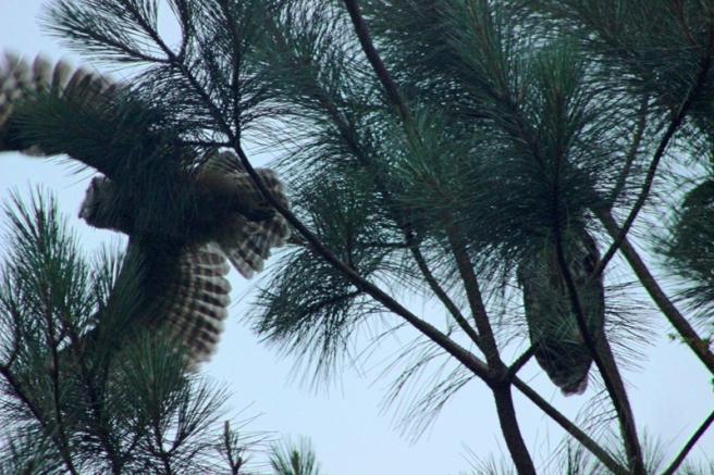 barred owls